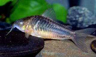 Corydoras(ln5) sp. (C089)