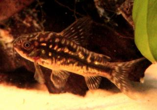 Corydoras(ln5) sp. (Cw022)