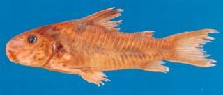 Corydoras(ln6) carlae