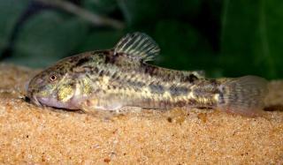 Corydoras(ln6) gladysae