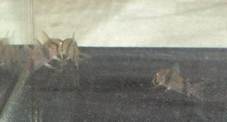 Corydoras(ln6) tukano