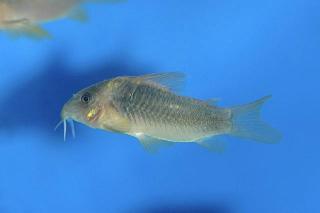Corydoras(ln7) cf. aeneus