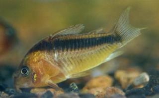 Corydoras(ln7) rabauti