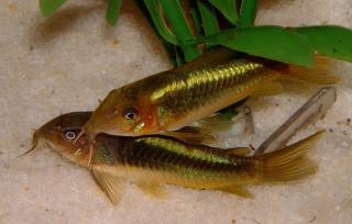 Corydoras(ln7) sp. (Cw009)