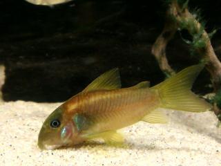 Corydoras(ln7) sp. (Cw014)
