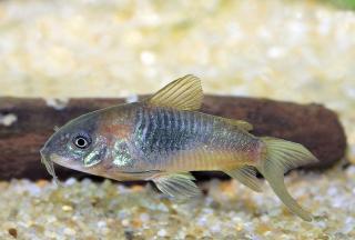 Corydoras(ln7) sp. (Cw041)