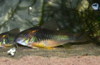 Corydoras(ln7) sp. (Cw139)