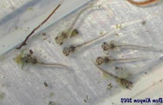 Corydoras(ln7) venezuelanus