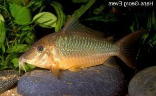 Corydoras(ln8sc1) sp. (Cw035)