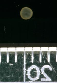 Corydoras(ln8sc1) splendens