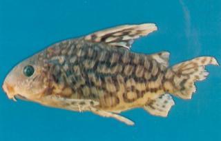 Corydoras(ln8sc3) geryi