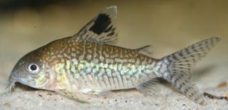 Corydoras(ln8sc3) reticulatus