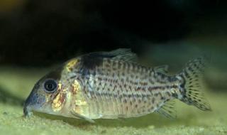 Corydoras(ln8sc4) ambiacus