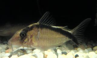 Corydoras(ln8sc4) bethanae