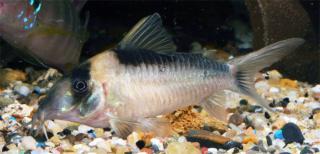 Corydoras(ln8sc4) imitator