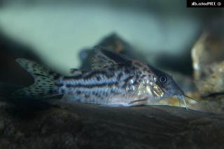 Corydoras(ln8sc4) incolicana