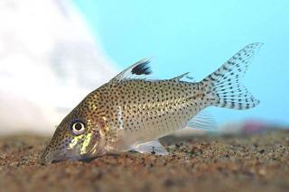 Corydoras(ln8sc4) leopardus