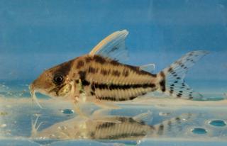 Corydoras(ln8sc4) pulcher
