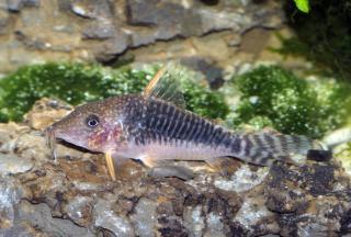 Corydoras(ln8sc4) seussi