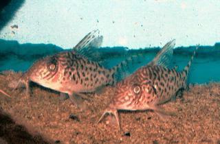 Corydoras(ln8sc4) sp. (C117)