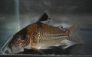 Corydoras(ln8sc4) sp. (C131)
