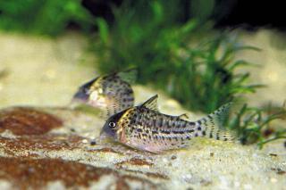 Corydoras(ln8sc4) sp. (C157)