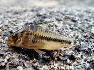Corydoras(ln9) boesemani