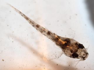 Corydoras(ln9) concolor