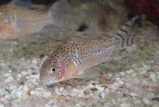 Corydoras(ln9) cruziensis