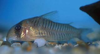 Corydoras(ln9) griseus