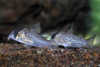 Corydoras(ln9) kanei