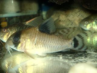 Corydoras(ln9) oiapoquensis