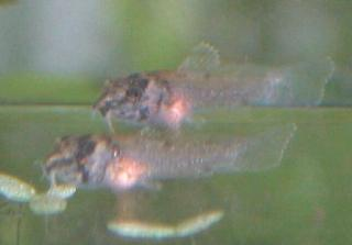 Corydoras(ln9) panda