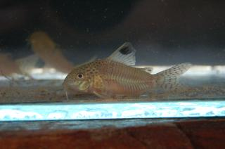 Corydoras(ln9) punctatus