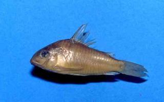 Corydoras(ln9) sanchesi