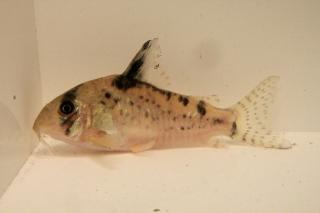 Corydoras(ln9) sp. (C090)