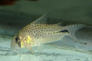 Corydoras(ln9) sp. (C091)