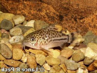 Corydoras(ln9) sp. (C120)