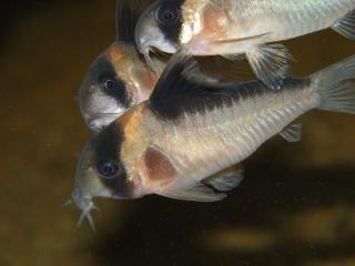 Corydoras(ln9) sp. (C121)