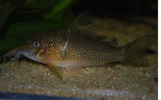 Corydoras(ln9) sp. (C136)