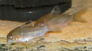Corydoras(ln9) sp. (Cw037)