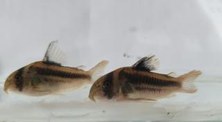 Corydoras(ln9) sp. (Cw169)