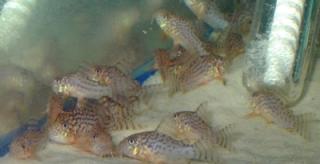 Corydoras(ln9) sterbai