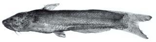 Cetopsidium orientale