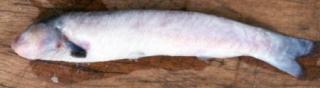 Cetopsis candiru