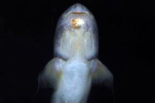 Cetopsis coecutiens