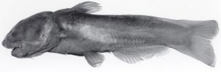 Denticetopsis epa