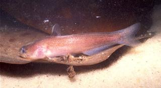 Denticetopsis macilenta