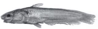 Denticetopsis sauli