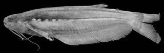 Helogenes castaneus
